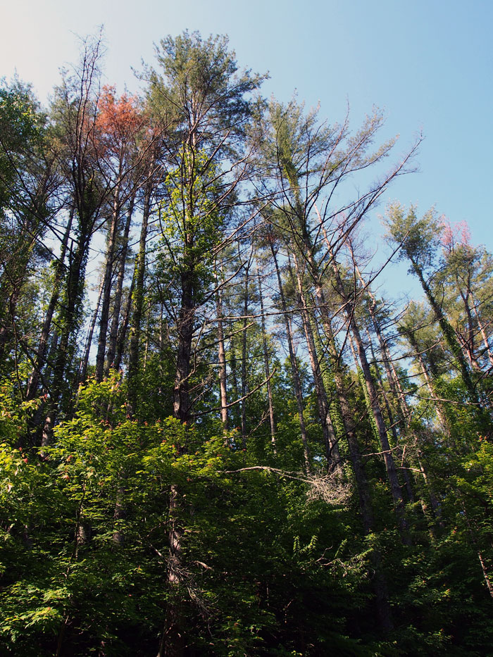 Smoky Mountain trees